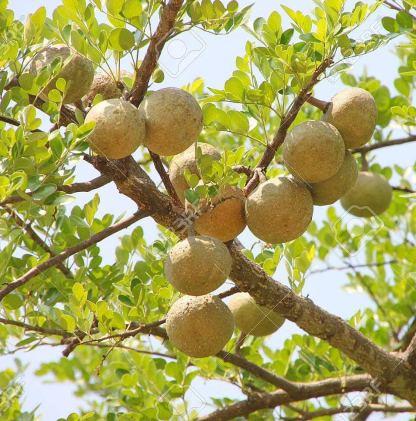 Thai Bael Fruit Tree