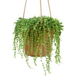 Hanging Basket Plant