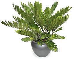 Jemia Palm