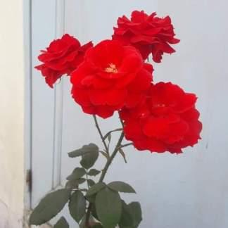 sindoori rose