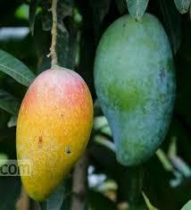 kiojay mango