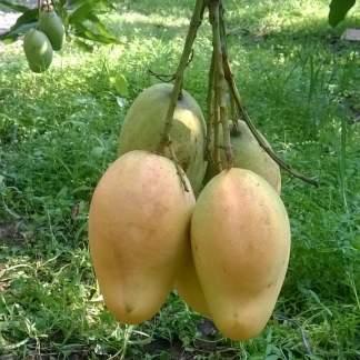bari 11 mango tree plant
