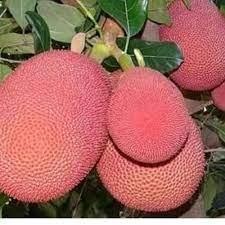 Pink Jackfruit tree Plant