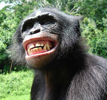 Resultado de imagem para grupo de bonobos