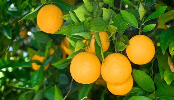 pe-de-laranja