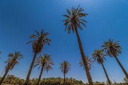 Palm trees at Tayma (photo: F. Egal)