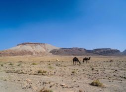 Camels at the bottom of Jebel Abiadh (photo: Florent Egal)