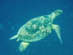 Turtle in Obhur (photo: Ilkka Tuohela)