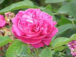 Rosa damascena trigintipetala