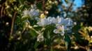 Hienosti ilta-aurinko valaisi omenapuun