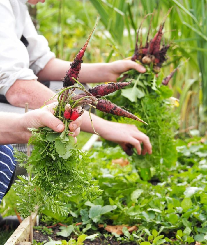 Chefs' harvesting fresh produce from our kitchen garden