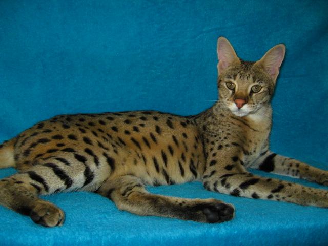 Savannah Cat For Sale Az
