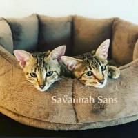 Savannah Katzen züchten