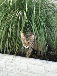 Mystik der Savannah Katze