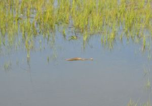 This lil guy just wanted a friend, followed me around the marsh,  beautiful rattler