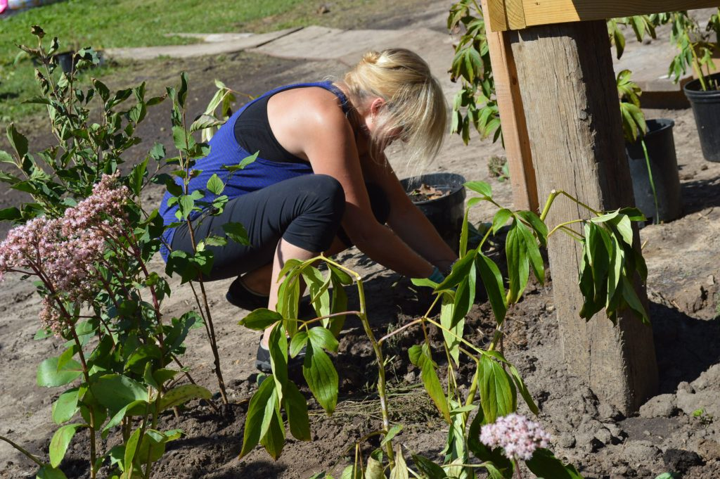 Peonies and other plants donated by the Cedar Rapids Garden Club were planted on Sept. 18, 2016. (photo/Cindy Hadish)