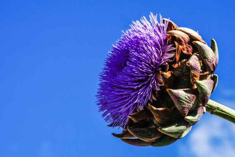 fleur d'artichaut violette sur ciel bleu save eat