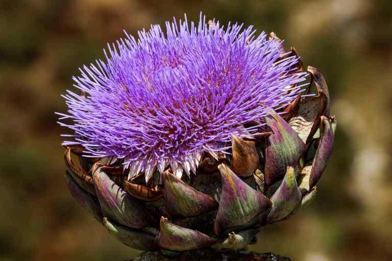 fleur d'artichaut violette save eat