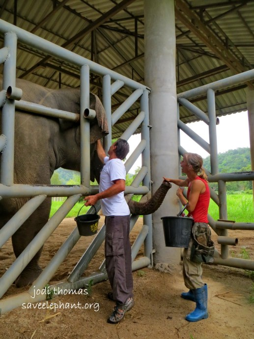 Hope, whose spirit has not been broken, in full musth is allowing Darrick to gently wipe his temporal area thanks to positive reinforcement training.