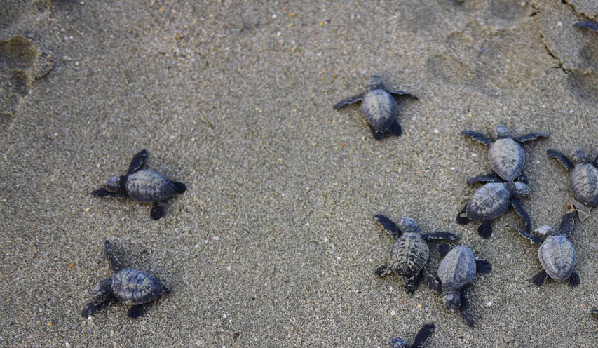 29 baby sea turtles got a second chance at life on Tuesday morning when they were released in the bay of the Bengal off the west beach of Saint Martin's Island. Earlier on Monday morning our local volunteers rescued them from a nest under attack by a pack of 9 dogs. Photo: Sumon Kormokar/ Save Our Sea