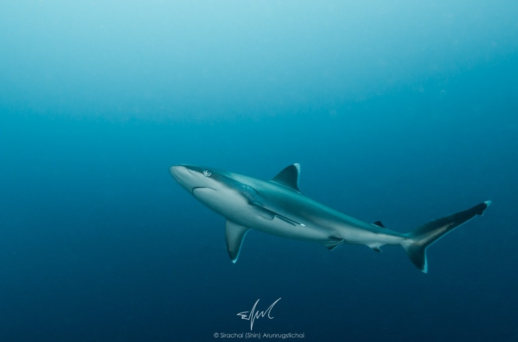 Of saving sharks in Thailand and going transboundary