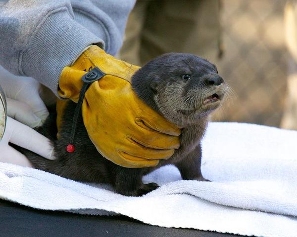 Connecticut-Beardsley-Zoo-Otter-Pup-Cute-Animal