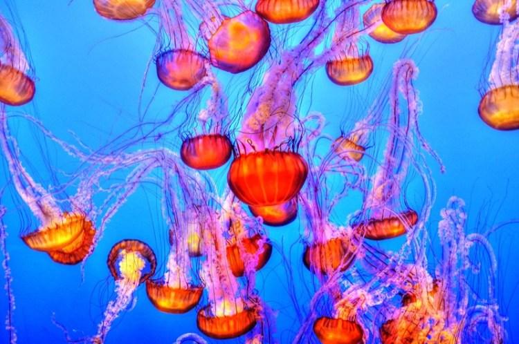 jellyfish-underwater-sea-floating-nature