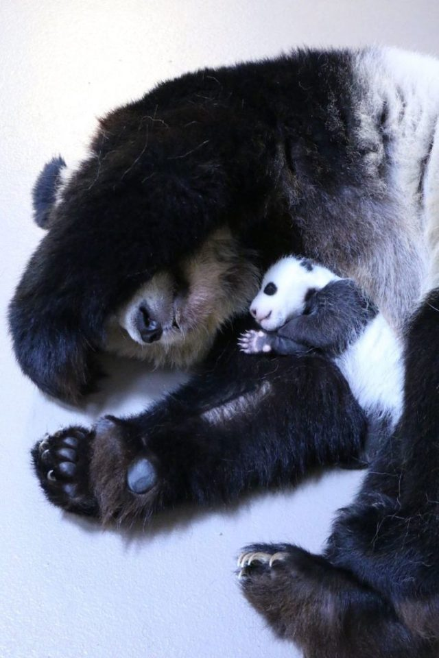 panda-mommy-baby-bear-cub-animal-mommy-baby