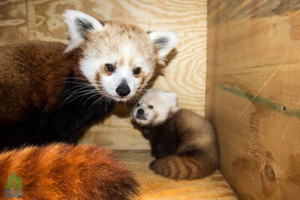 red-panda-mother-and-baby-animal-cute
