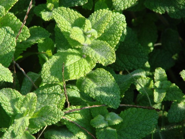 stock_peppermint-leaves-herbs-food
