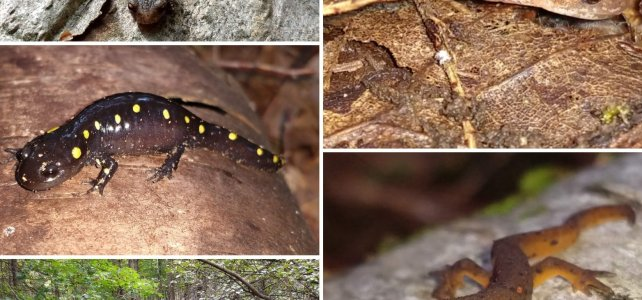 Salamander Collage (Eastern Red-back Salamander, Spotted Salamander, Eastern Newt, Four-toed Salamander)
