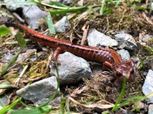 Western Red-back Salamander (Plethodon vehiculum)