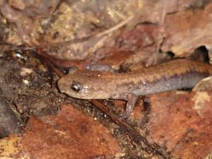 Eastern Red-backed Salamander (Plethodon cinereus)