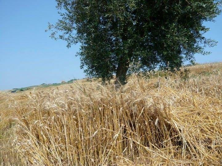 Campo di grano nelle Marche