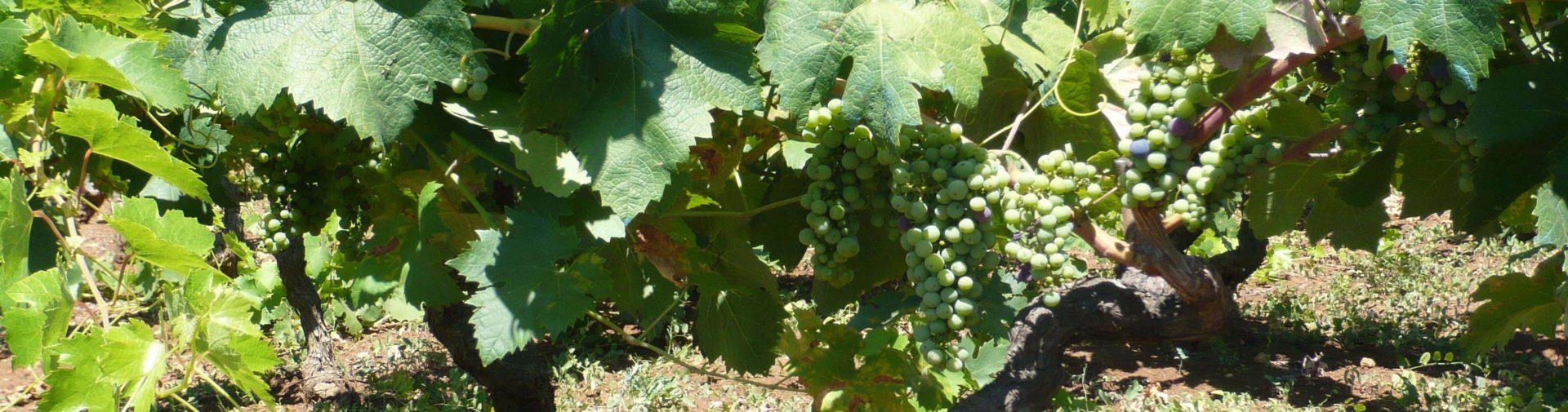 Vineyards of Apulia