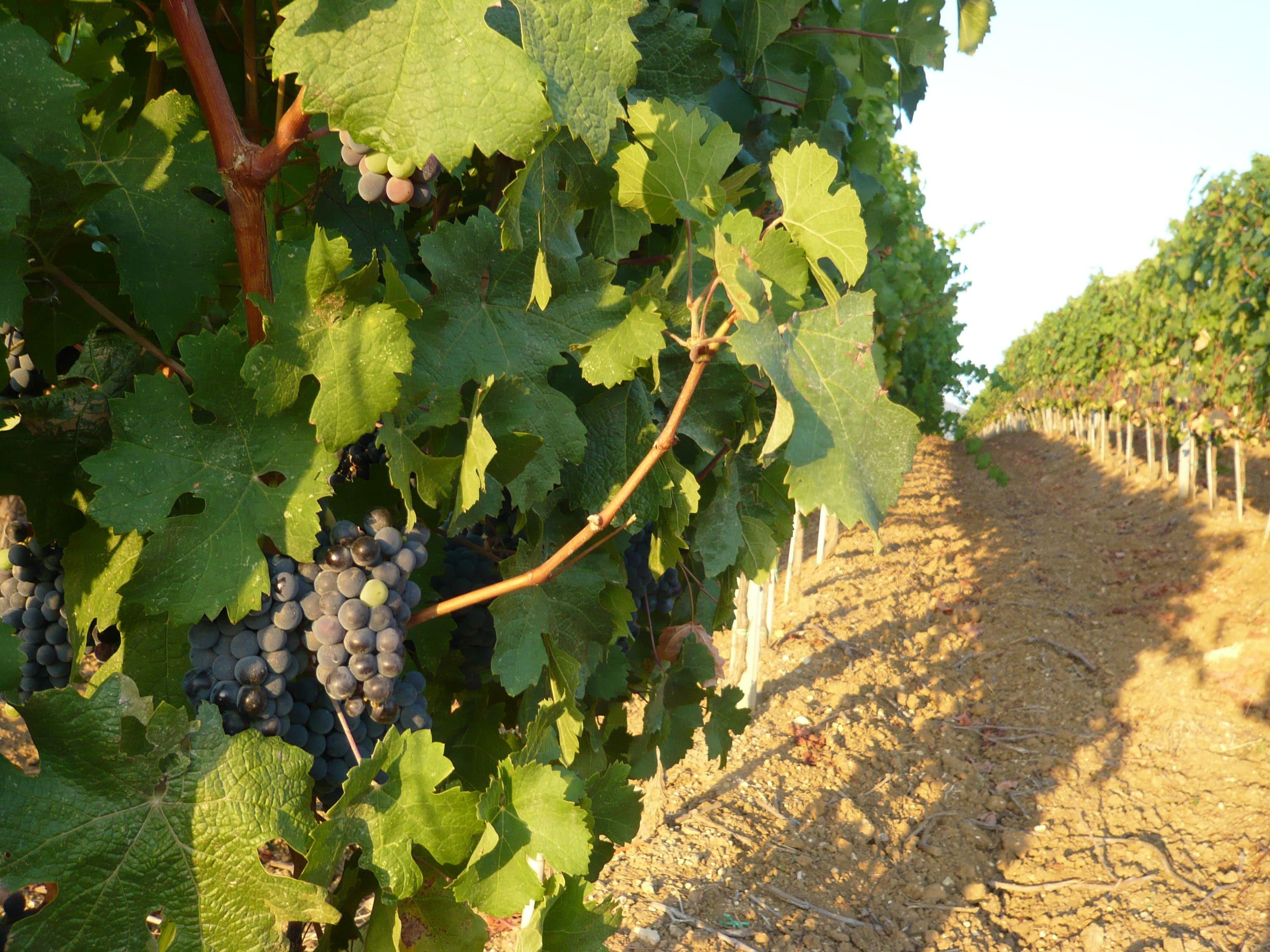 Vines of Tuscany