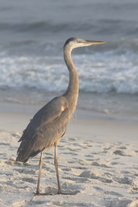 Fort Morgan Heron