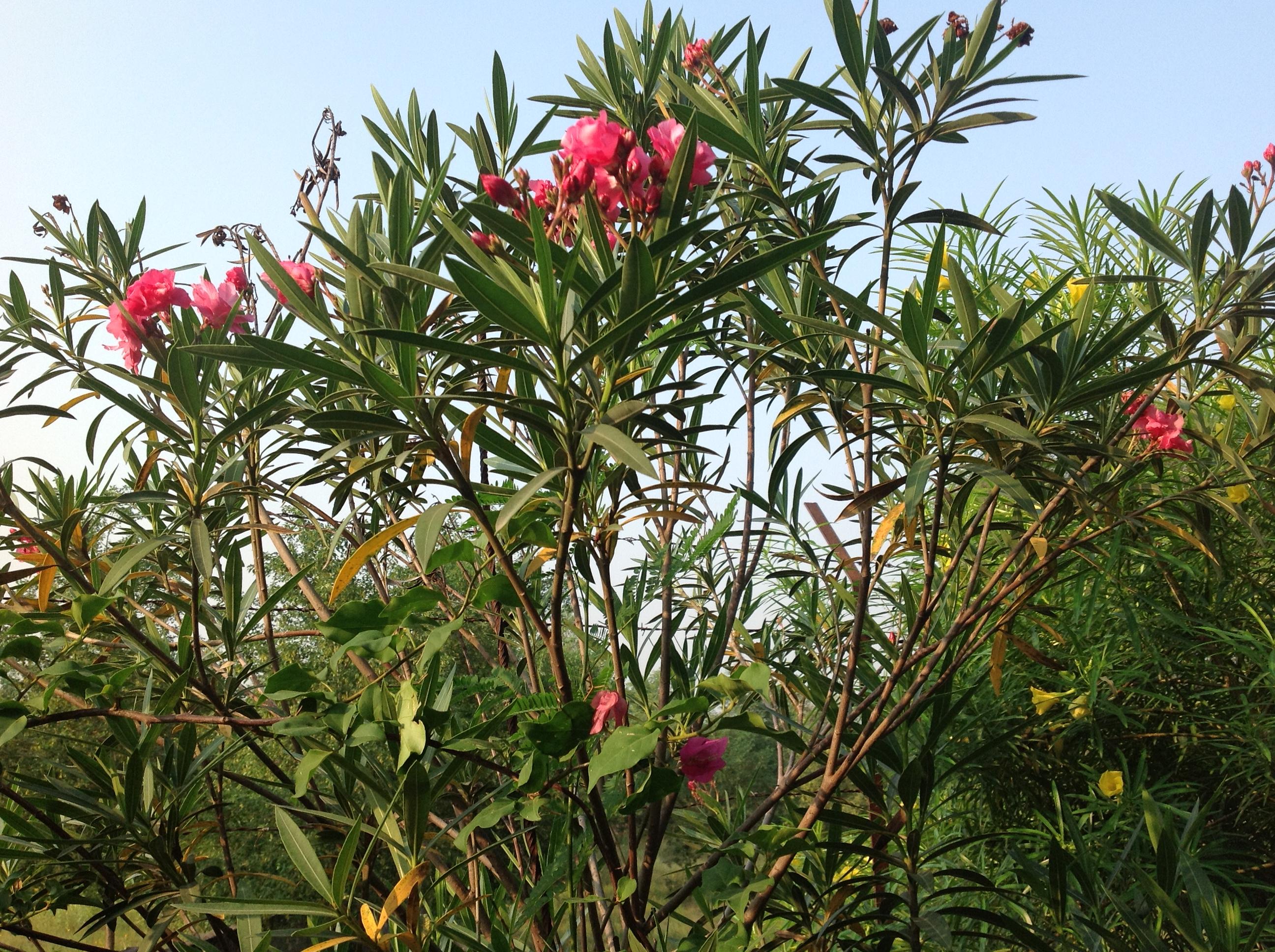 jaipurs flowering shrubswhats blooming at savista
