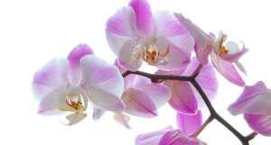 ljubičasta orhideja