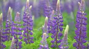 Odabir odgovarajućih biljaka za rubne gredice travnjaka ili staze