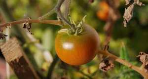 uzgoj rajčice