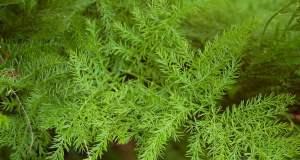 Savjeti za uzgoj sobne šparoge (Asparagus)