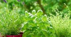 Korisne biljke na balkonu