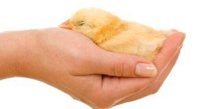 Savjeti za čuvanje kokoši