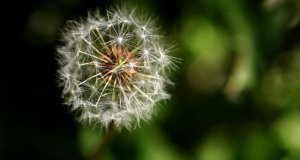 cvijet maslačka