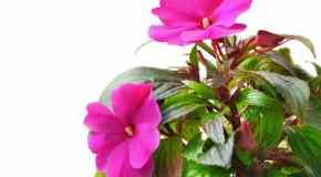 Kako uzgajati sobno bilje