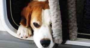 pas beagle