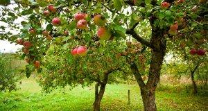 Stare sorte jabuka