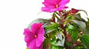 Razmnožavanje biljaka reznicama