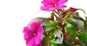 rozo cvijeće